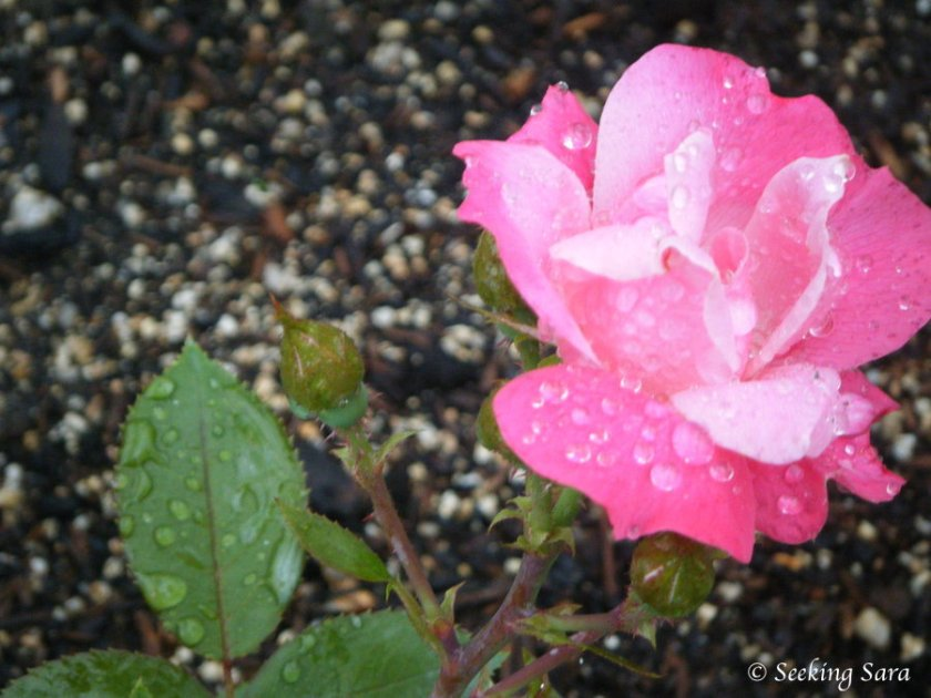 A bright pink rose covered in raindrops against a blurred background of multicolored pebbles.